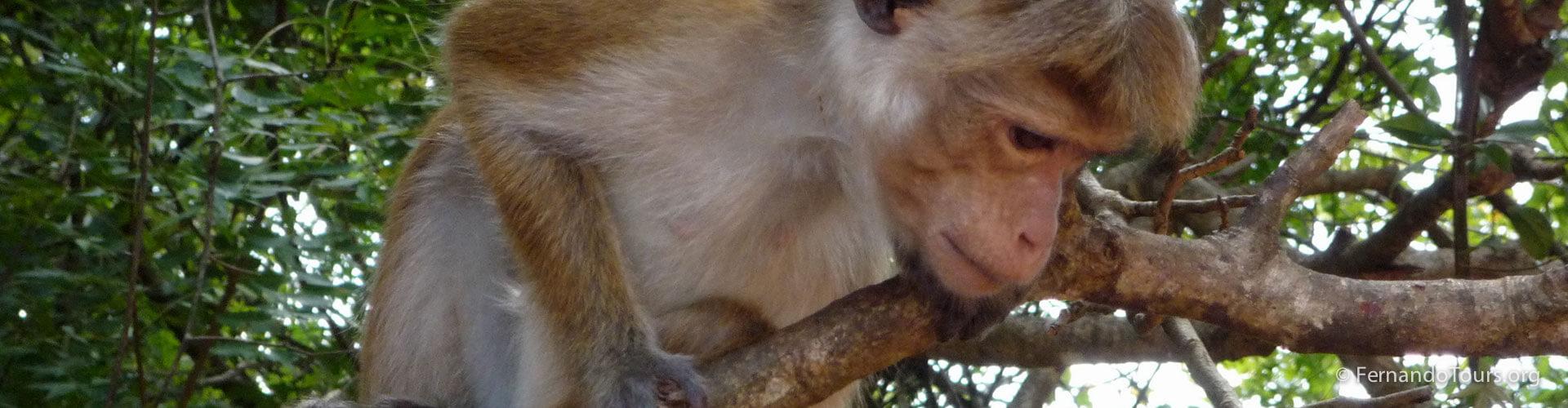 Sigiriya Sri Lanka Monkey