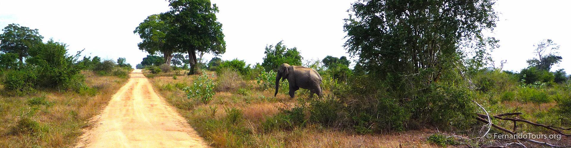 Udawalawe National Park Sri Lanka - Wild elephant
